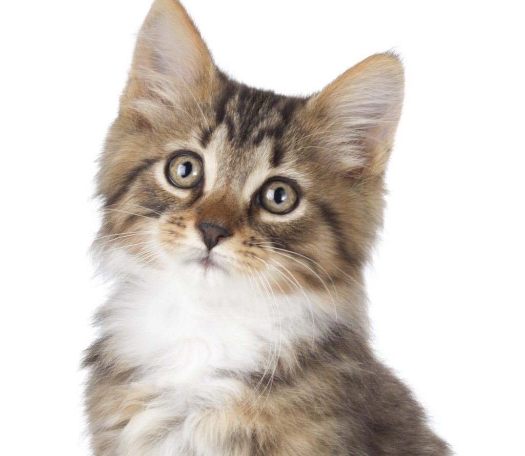 Cat Asthma And Food Allergies