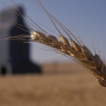 Stalk of Wheat with Silo in Background