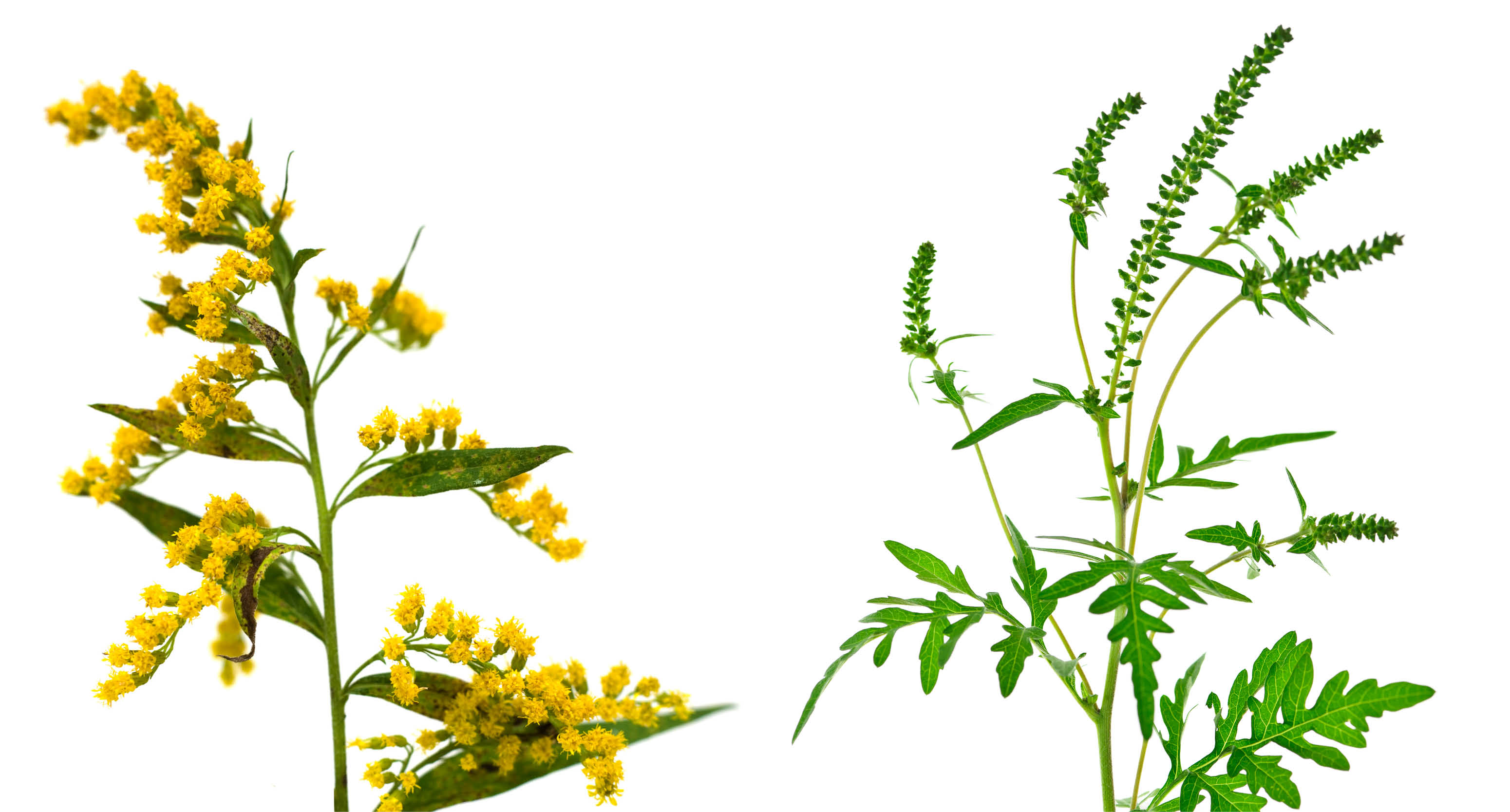 All About Ragweed Allergy Signs Symptoms And Avoidance