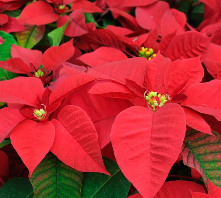 Close up of red poinsettia flowers.
