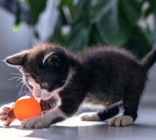 Black kitten plays with orange ball